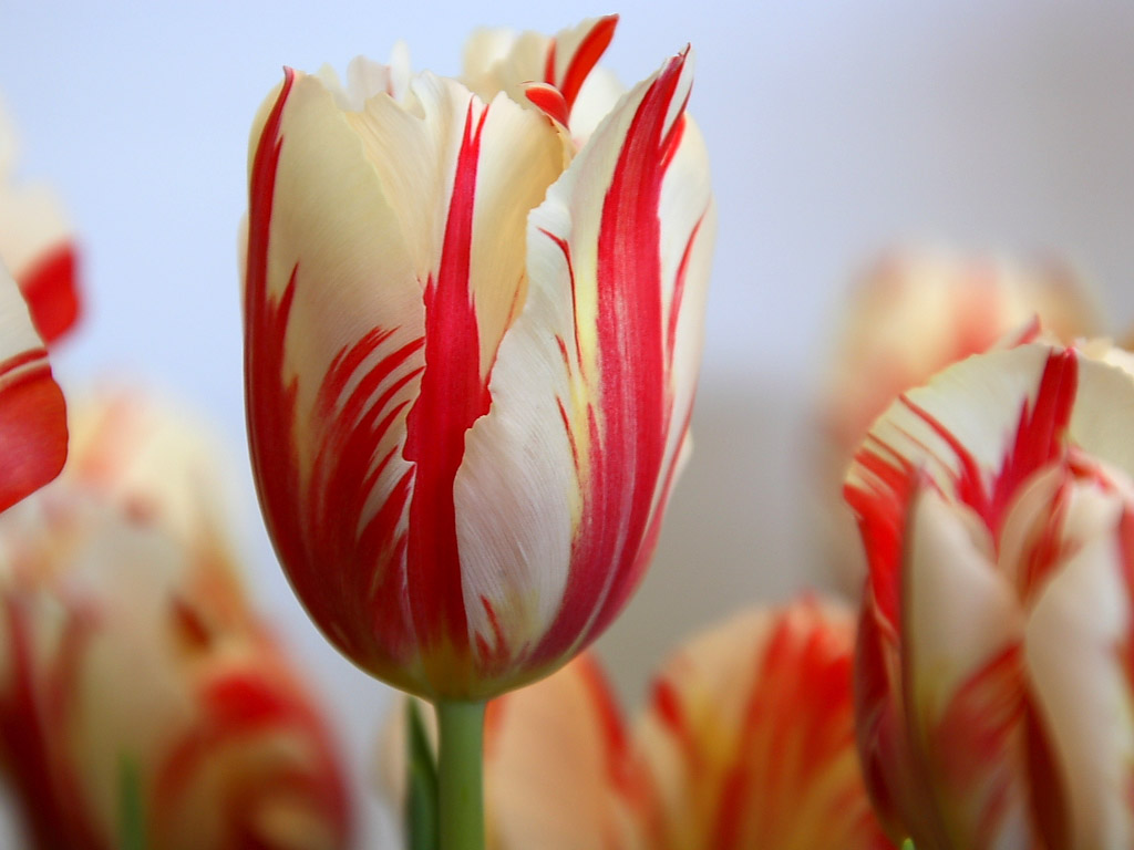 Tulip-HD-Wallpapers1001