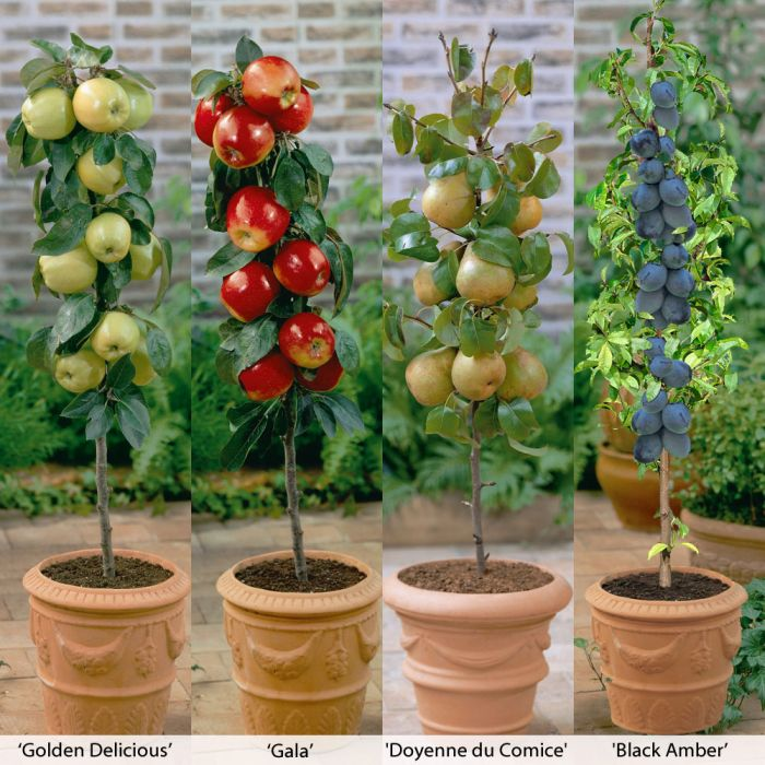 Thompson-Morgan Mini Fruit Trees